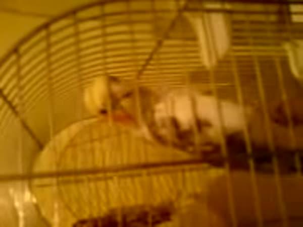 Papoušek fandí Baníku