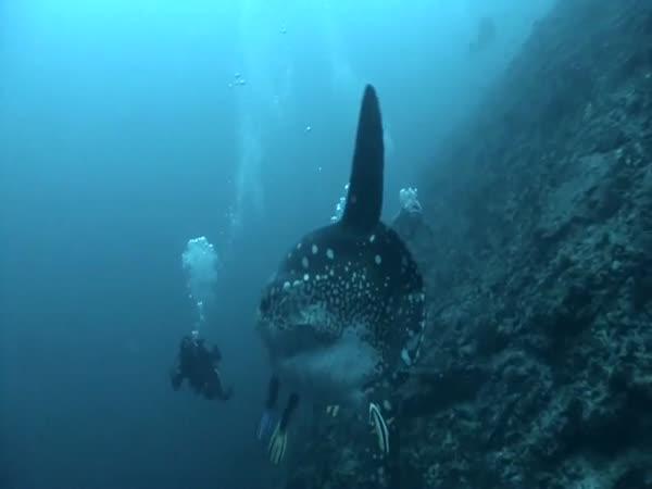 Nejtěžší ryba na světě