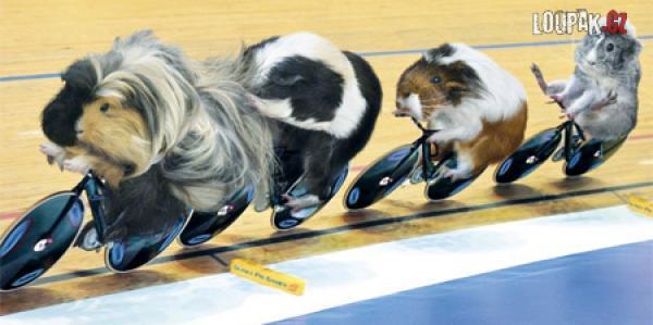 OBRÁZKY - Morčata a olympijské hry
