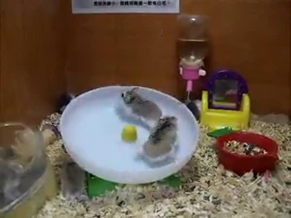 Jak se baví křečci