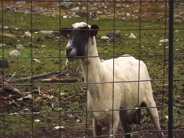 Kříčící ovce - musíte slyšet