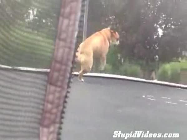 Buldok na trampolíně