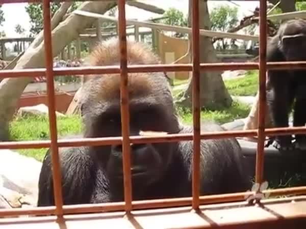 Gorilí fascinace housenkou