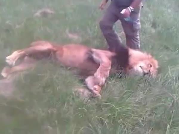 Jak osvěžit svého lva