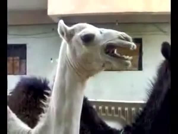 Lechtivý velbloud