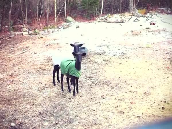 Kříčící ovce - musíte slyšet #2