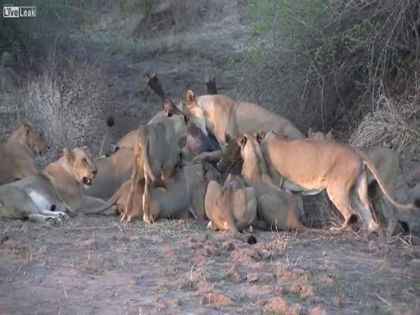 Smečka lvic vs. buvol