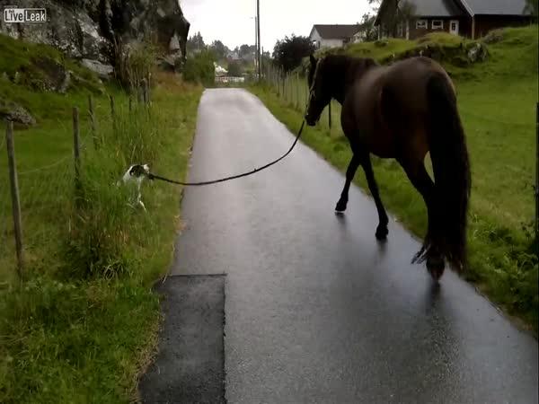 Pes venčí koně