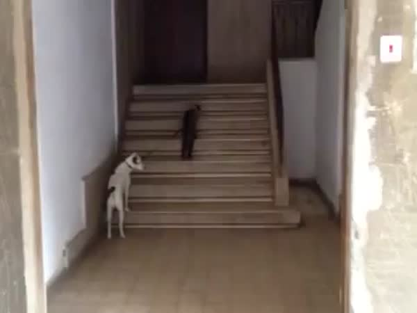 Kočka vede psa domů