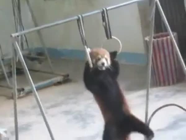 Červená panda posiluje