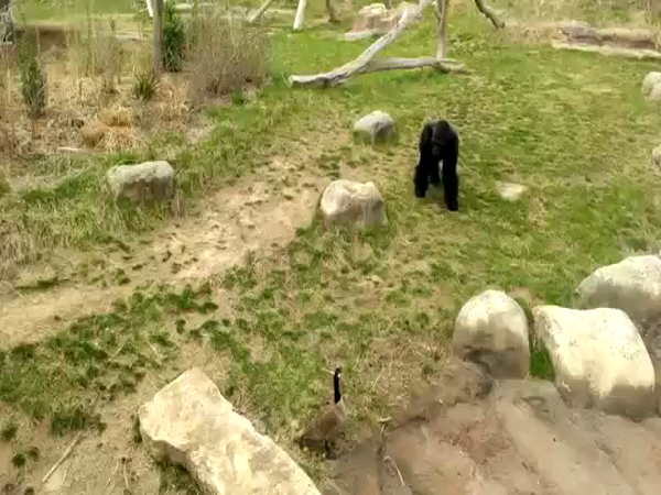 Gorila vs. husa
