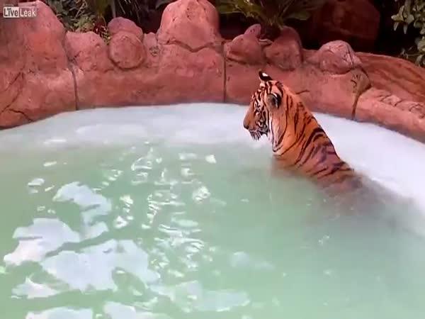 Tygří koupel