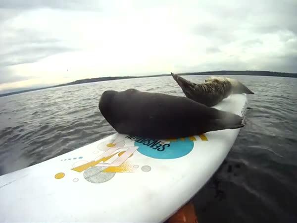 Tuleni se snaží dostat na surf