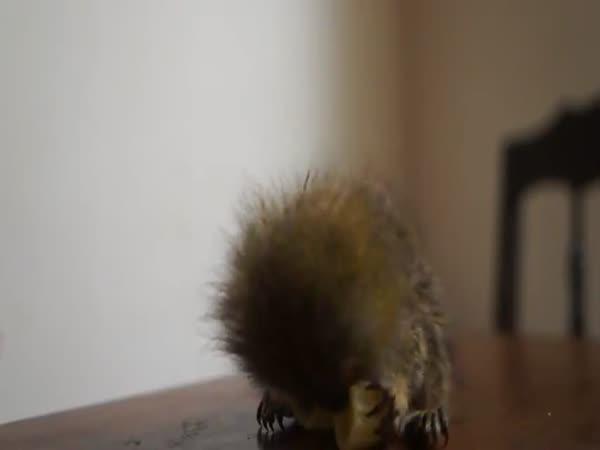 Nejmenší opička světa na sváče
