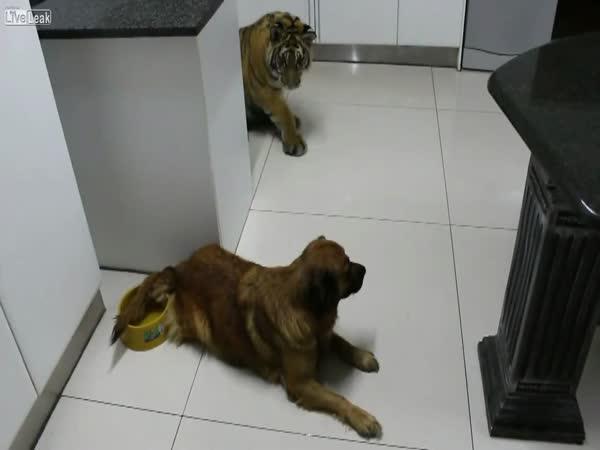 Tygr vs. pejsek