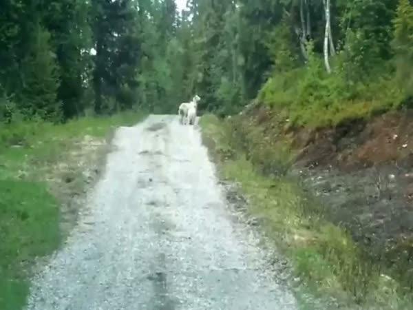 Ovce vs. vlk