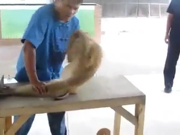 Cvičící opice