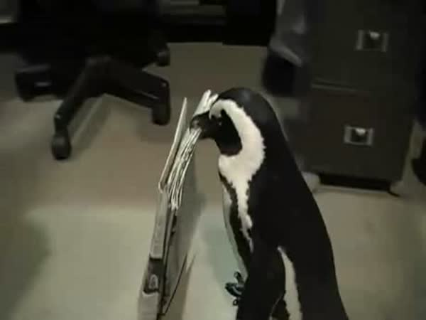 Tučňák nosí noviny