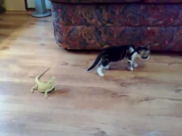 Kočka vs. Agama