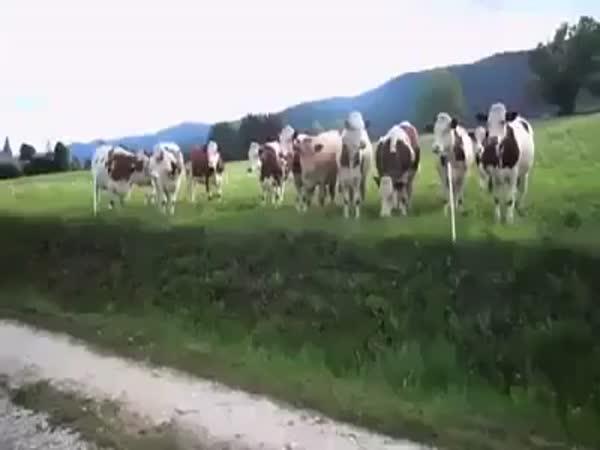Krávy mají rády jazz