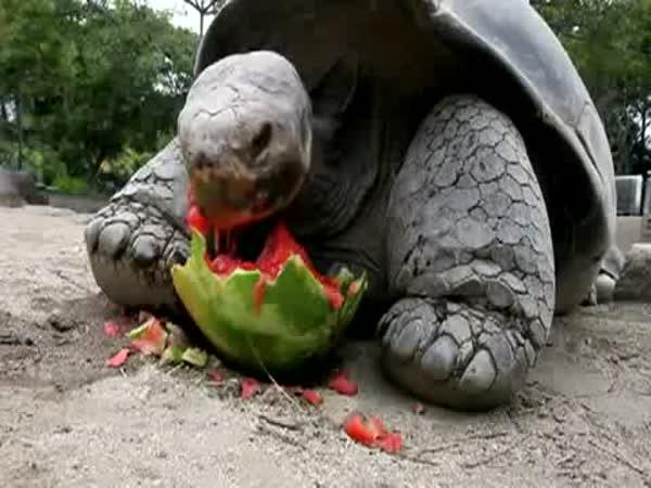 Želva pojídá meloun
