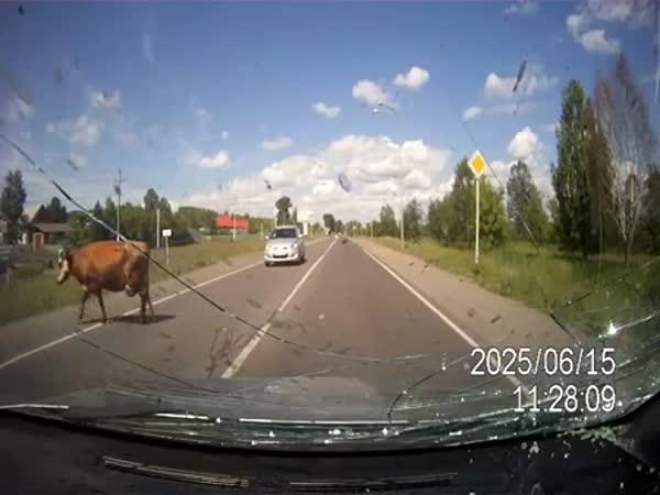 Kráva, býk a auto