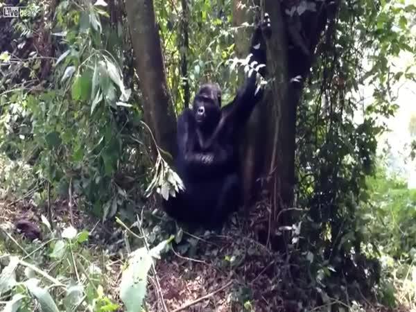 Setkání s gorilou