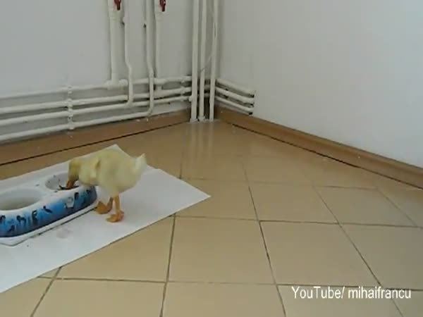 Kachňátko sleduje samo sebe na videu