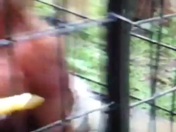 Šílená opice žere banán
