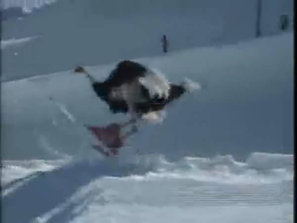 Pštros na lyžích