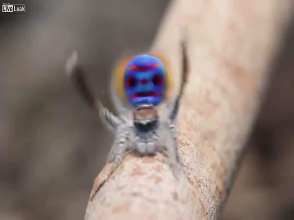 Jak tančí pavouci