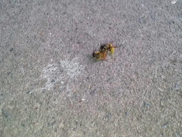 Včela vs. vosa