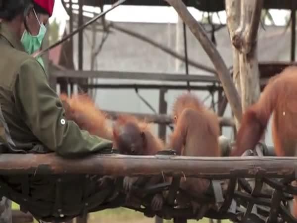 Orangutaní mimino