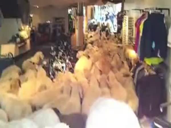 Ovečky se vydaly nakupovat