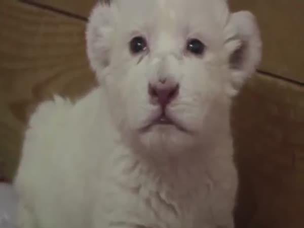 Roztomilé mládě bílého lva se snaží řvát