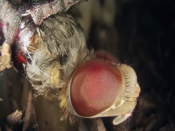 Jak se rodí moucha?
