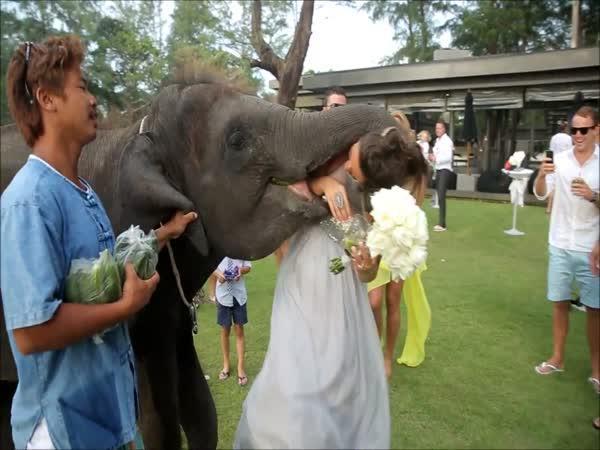 Slon se snaží políbit nevěstu