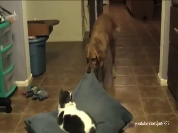 Kočky kradou psům pelechy [kompilace]