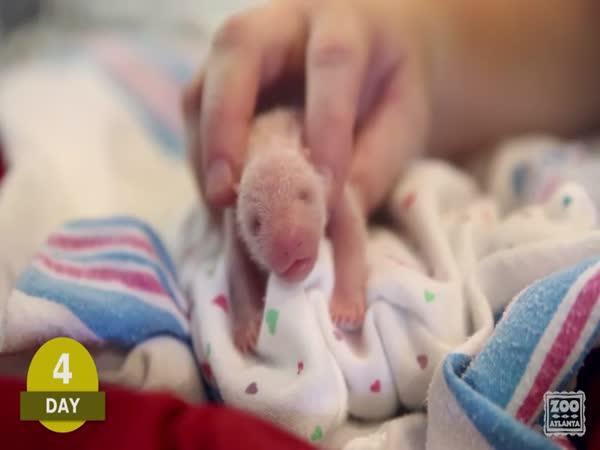 Prvních 100 dní života pand