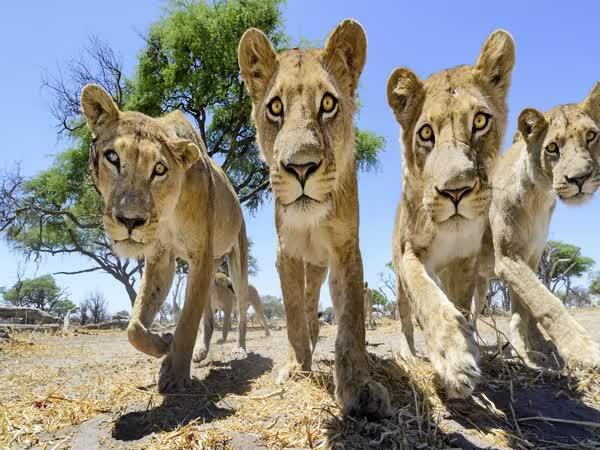 Focení lvů zblízka