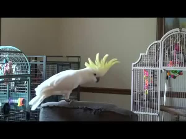Papoušek Michael Jackson