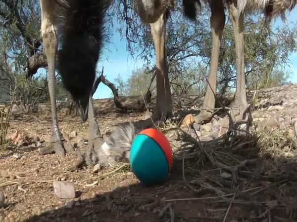 Pštros versus hračka