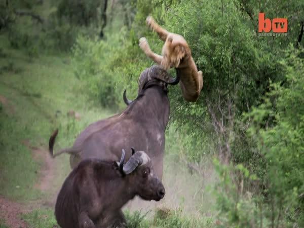 Buvol vymrští lva do vzduchu