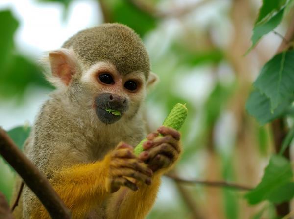 Opička učí lidi mačkat listí