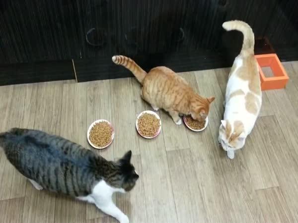 Sobecká kočka