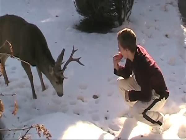 Krmení divokého jelena