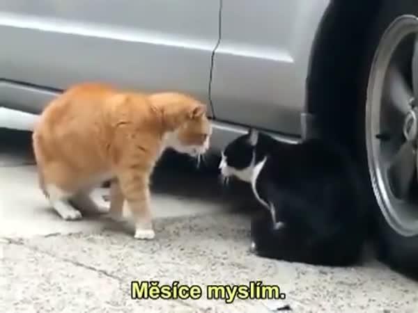 Kočičí milenecká hádka