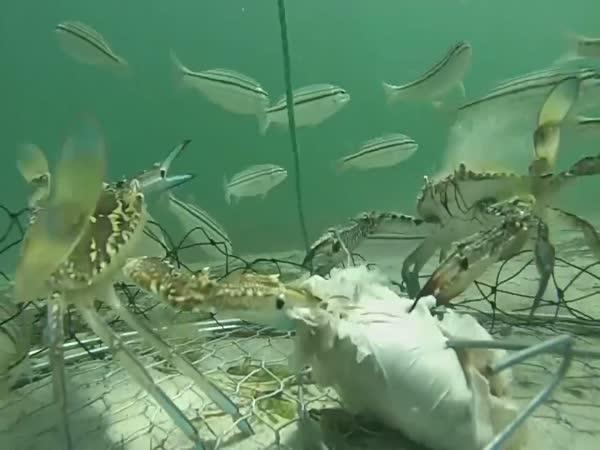 Jak se loví krabi