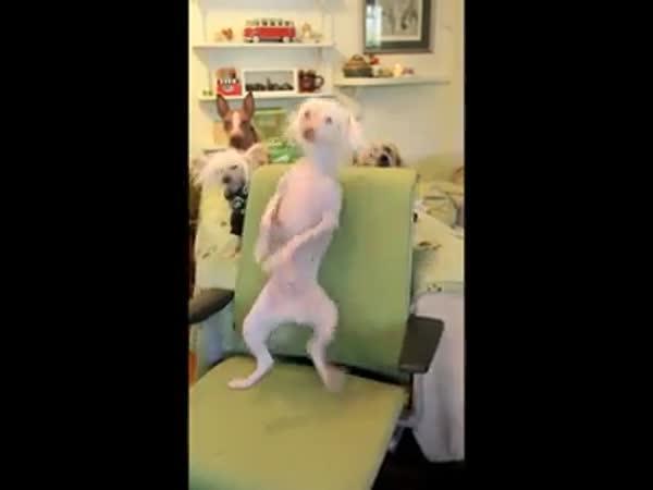 Pes tancuje na židli