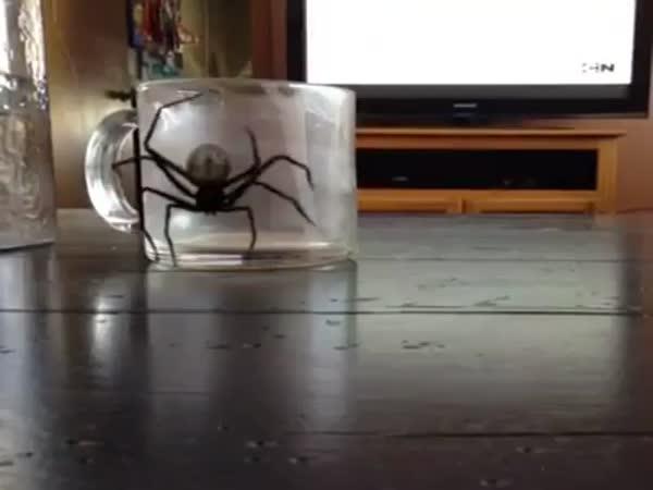 Agresivní pavouk